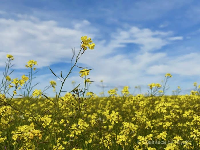 Yellow Flower Madrid 青空に向かって咲く黄色い花