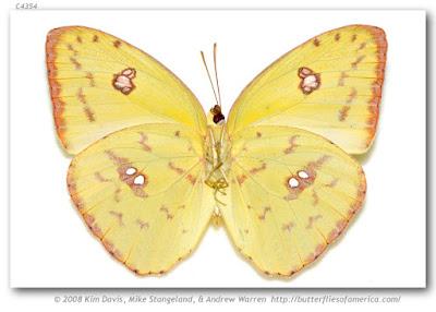 Mariposa febo (Phoebis sennae)