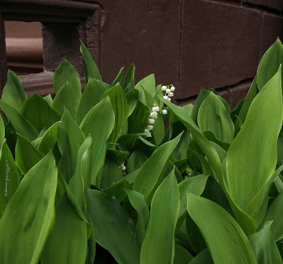 ©PatriciaYoungquist2021.This image features the flowers known as Lilies of the Valley..
