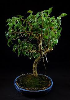 przycinanie fikusa bonsai