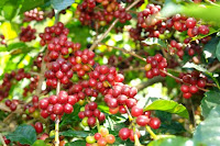 perkebunan kopi arabica