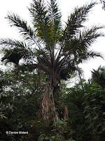 Tagua tree palm - Senator Fong's Plantation and Gardens, Oahu, HI