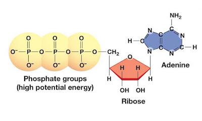Struktur molekul ATP