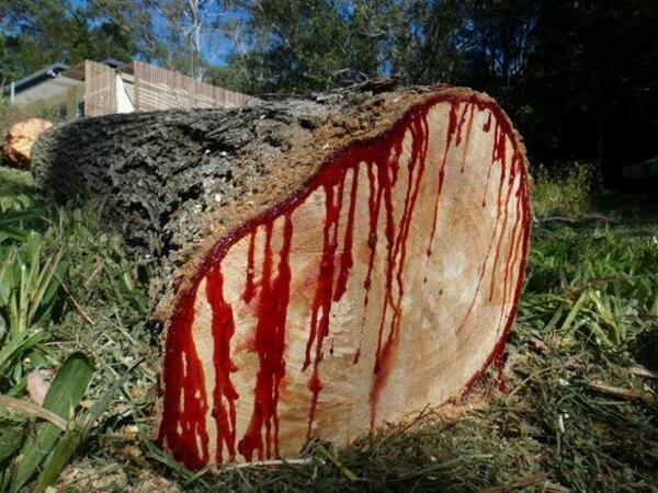 يستخرج من الشجرة سائل دموي اللون
