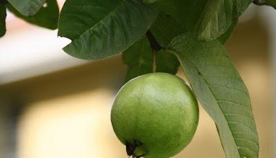 Manfaat teh daun jambu biji untuk kesehatan