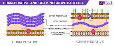 Perbedaan dinding sel bakteri gram positif dan gram negatif