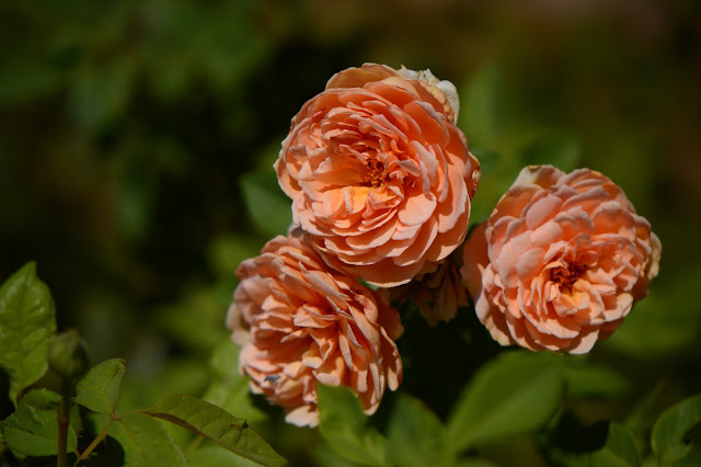 rose, small sunny garden, amy myers, desert garden