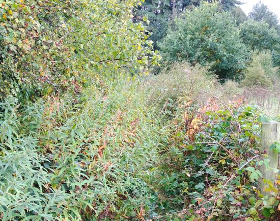 Photograph of The eastern part of footpath 86 around the Leach Fields blocked with brambles and thorns  Image by North Mymms News released under Creative Commons BY-NC-SA 4.0