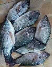 Harga Supplier Jual Ikan Nila Bibit dan Konsumsi Banjarmasin, Kalimantan Selatan
