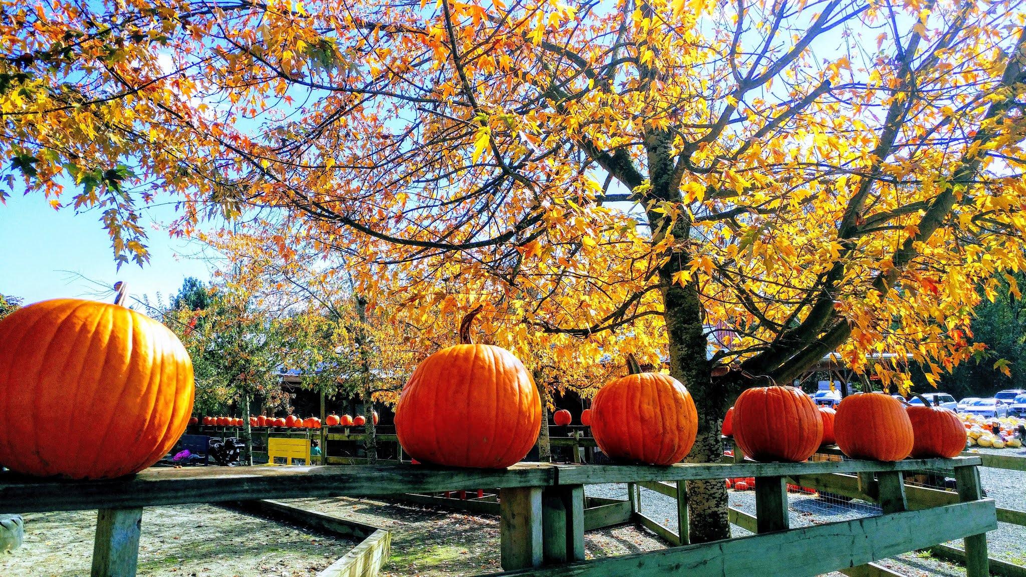Pumpkin Patch Preschool Filed Trip #throwback memories 2018 at maan farm.