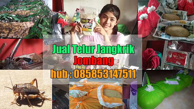Jual Telur Jangkrik Jombang Hubungi 085853147511