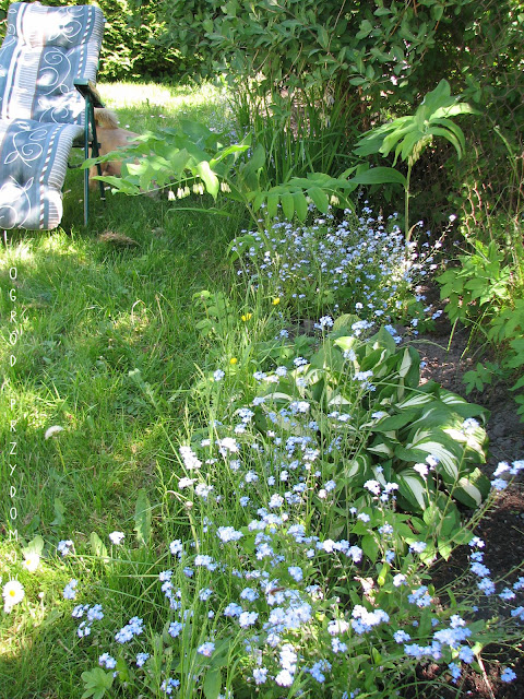 ogród przydomowy z niezapominajkami