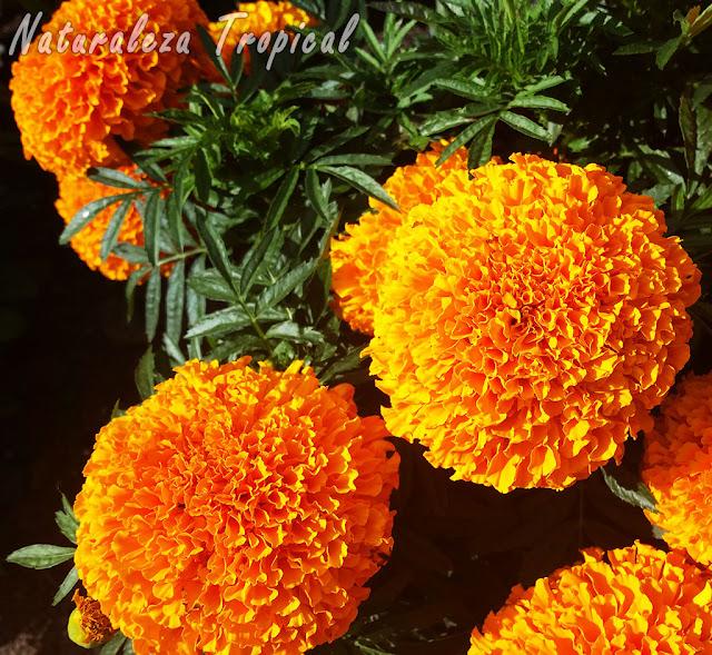 Flores moñudas de una especie del género Tagetes