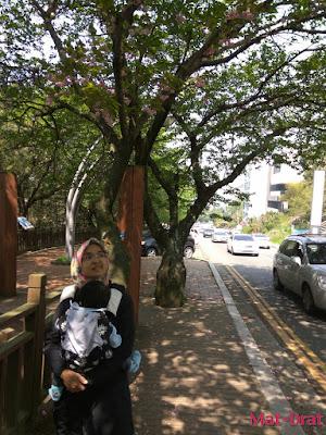 Dalmaji-gil road Tempat menarik di Busan Korea Interesting Place cherry blossom sakura