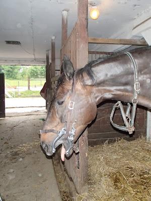 Konie, zabiegi weterynaryjne, tarnikowanie zębów u koni