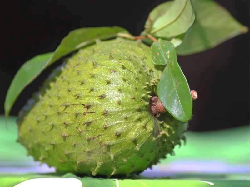 Durian Belanda Kemoterapi