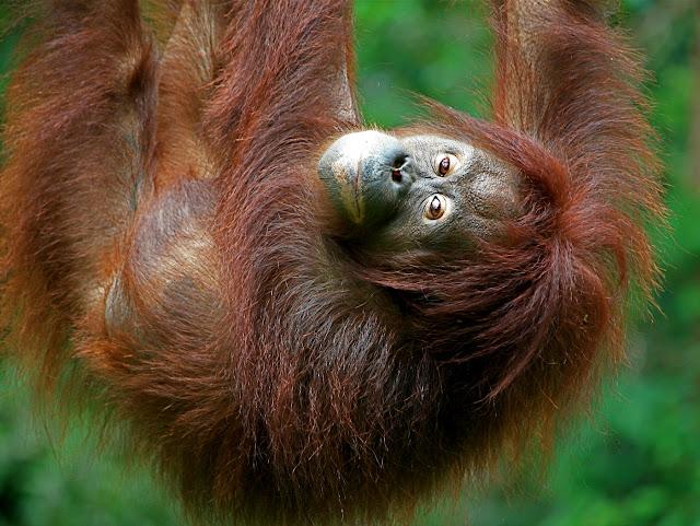 Suuntana Aasia | Borneon uskomaton luonto ja eläimet - Sepilok, Labuk Bay ja Kinabatangan River | Hukkapiilo