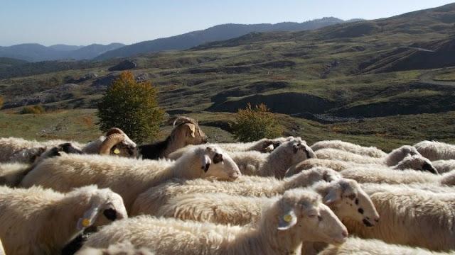 Σύνδεσμος Ελληνικής Κτηνοτροφίας: Ένσταση για το κορονοεπίδομα  των  αιγοπροβατοτρόφων  που δεν το  έχουν λάβει