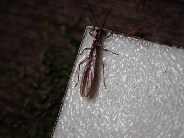 Nemouridae