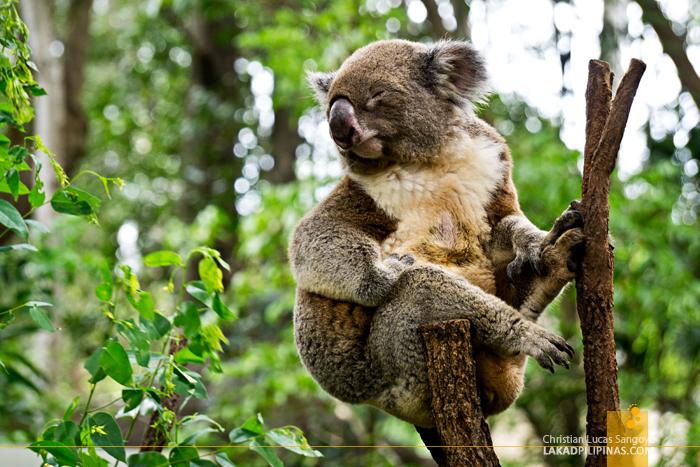 Brisbane Day Tour Lone Pine Koala Sanctuary