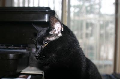 قط بومباي : Bombay Cat