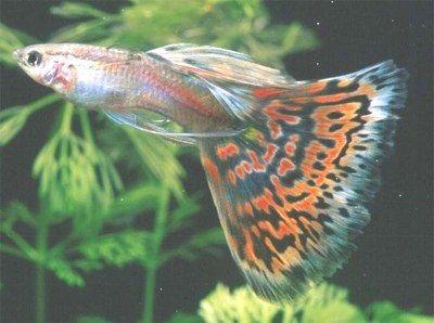 Gambar Ikan Guppy Mosaic - Red Mosaic