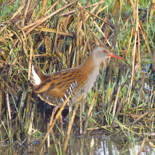 No beardies but birds a plenty at Alkborough Flats