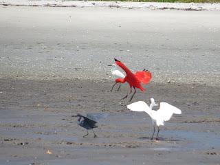Scarlet Ibis arrives!