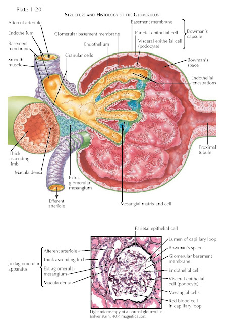 STRUCTURE AND HISTOLOGY OF THE GLOMERULUS