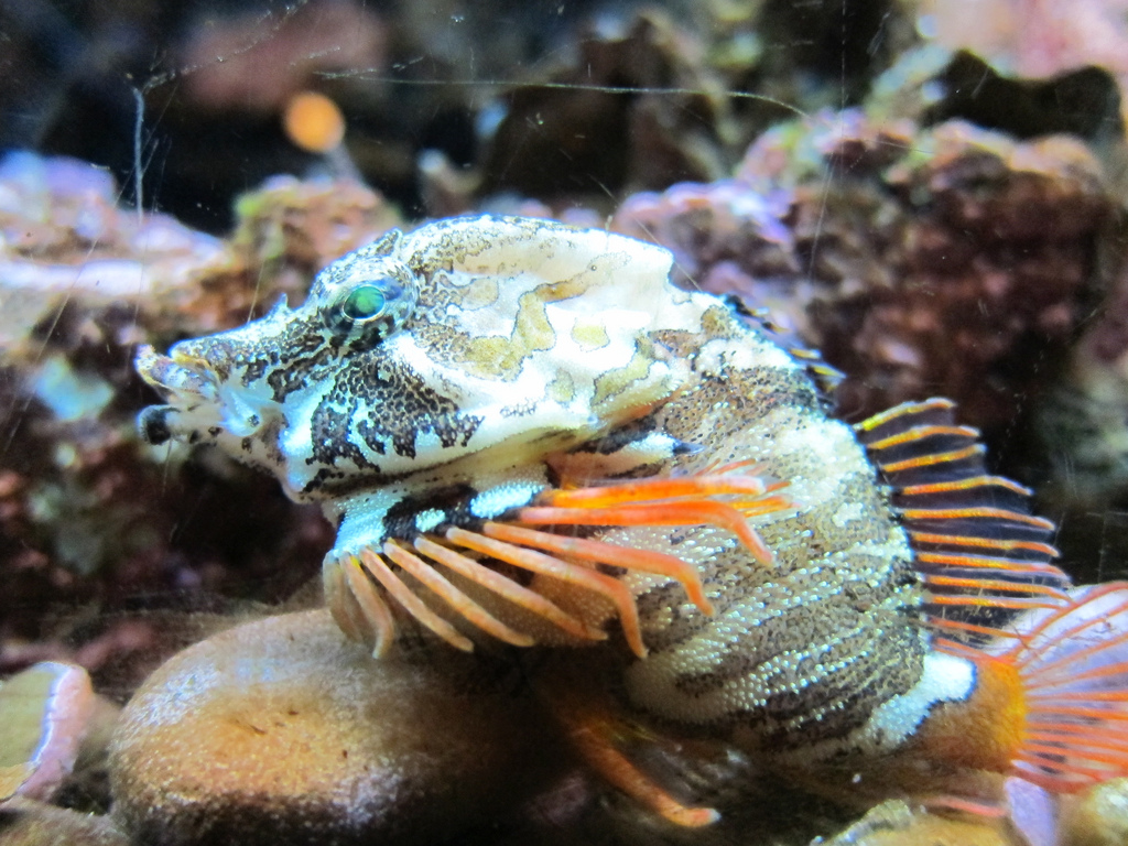 Grunt Sculpin - Life of Sea