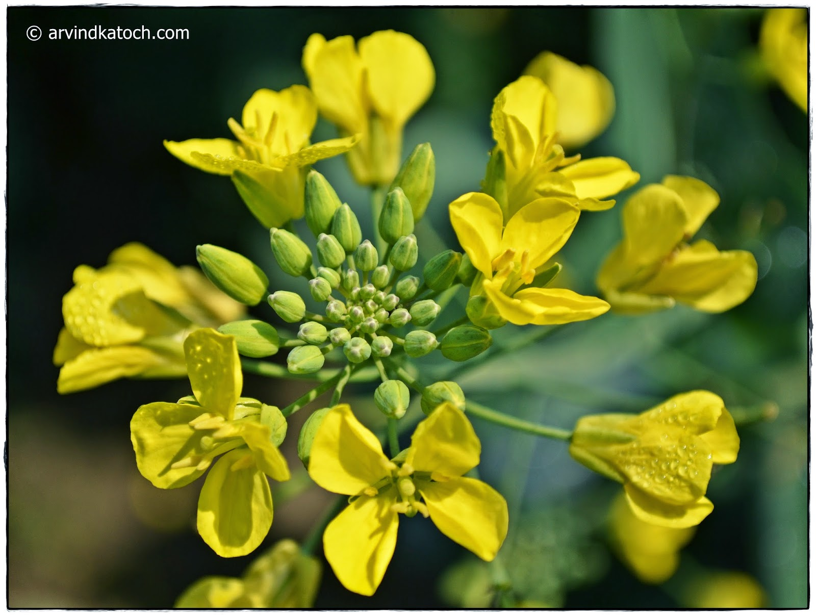 Dew Drops, Yellow, Mustard Flowers, Buds, flower,