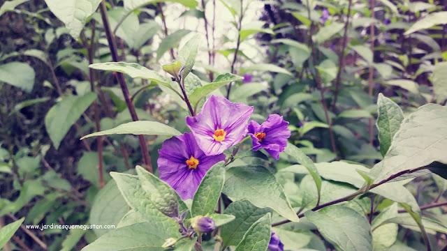 Flor de Solanum rantonnetti ahora Lycianthes rantonnetti