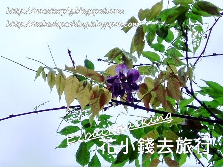 荔枝角公園紫藤