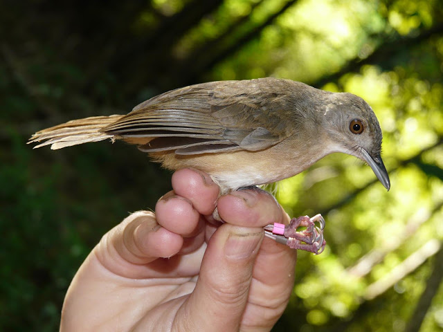 Zoologists uncover new example of rapid evolution - meet the Sulawesi Babblers