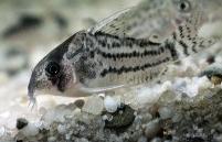 Jenis Ikan Corydoras schwartzi