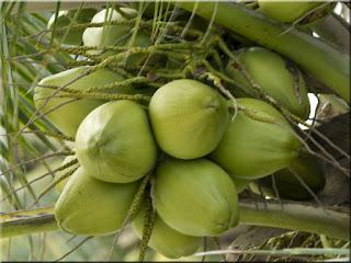 Coconut Fruit (Scientific name is Cocos nucifera)