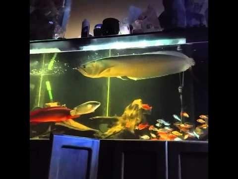 Gambar  crenicichla red pike Teman Ikan Arwana Di Akuarium