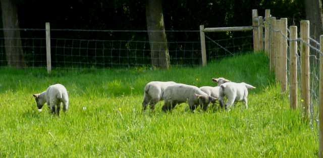 image: HenSafe lambs exploring their new enclosure