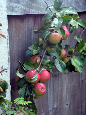A tree branch covered in red apples, growing against a fence