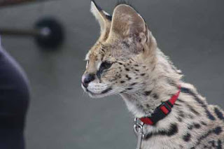 A Serval At San Diego Zoo Backstage Pass.
