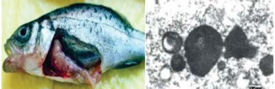 Penyakit Virus Pada Ikan : Nervous Necrosis (VNN)
