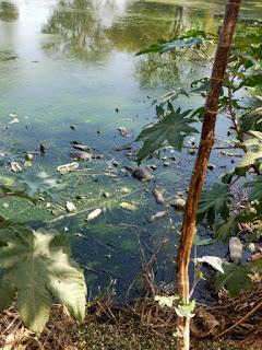 तालाब की सफाई न होने के कारण हुई कछुओं की मौत