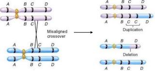 http://www.scienzita.it/lezioni/biologia/mutazioni_duplicazione.jpg