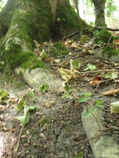Zelkova crenata - Cheverny - Drageonnement
