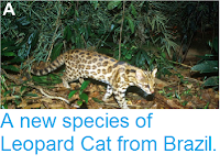 https://sciencythoughts.blogspot.com/2014/10/a-new-species-of-leopard-cat-from-brazil.html