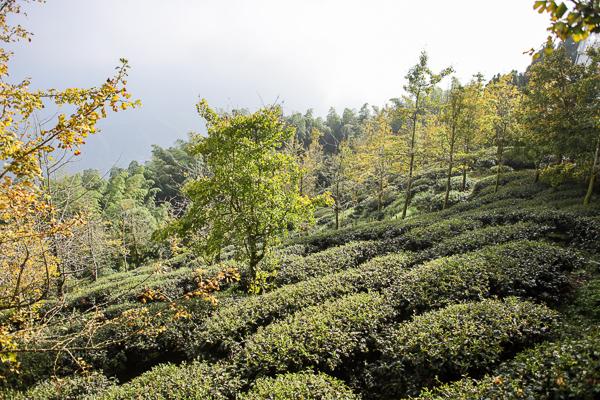 南投武岫農圃銀杏森林步道茶園、大崙山觀景台賞雲海、老K的家下午茶