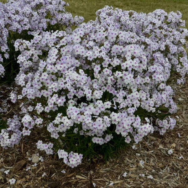 A list of over 20 of the newest and best perennials for 2020 that are must haves in the garden.