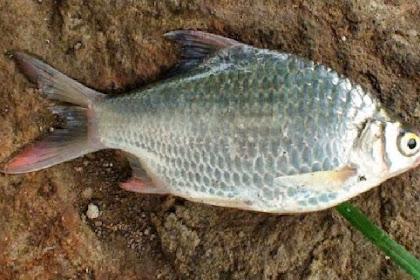 Klasifikasi Ikan Tawes dan Morfologi Ikan Tawes (Barbonymus gonionotus)