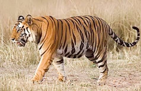 वाघ आला रे! आला........  पळसोनी परिसरात वाघाची दहशत कायमच....शेतकरी भयभीत...