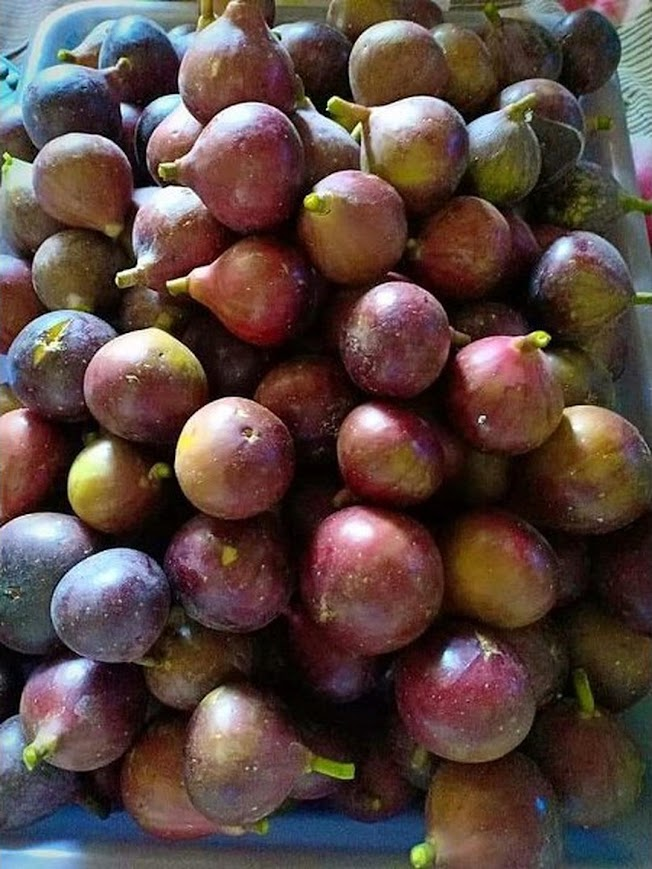 bibit buah tin brown turkey Probolinggo